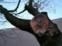 切られてしまった桜の木